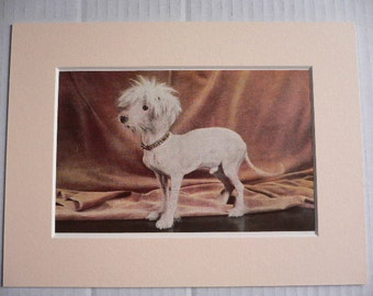 MEXICAN HAIRLESS DOG Vintage Mounted 1958 companion toy rare dog plate print Thank you Congratulations, Birthday Christmas gift