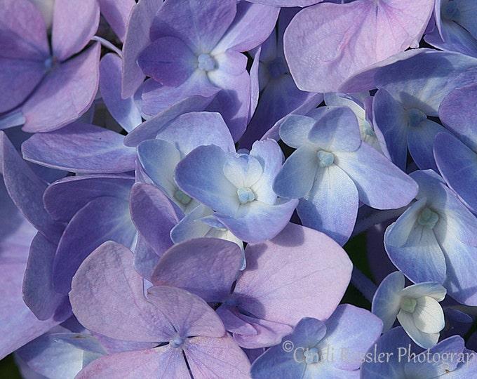 Hydrangea, Photography,  Botanical Photography, Nature Photography