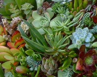 300 SUCCULENT CUTTINGS, Succulent Plants, Wedding Favors, Wholesale