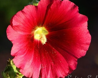 Red Flower Photography, hollyhock photo, nature art, floral wall art, affordable home décor, flower gifts, fine art print