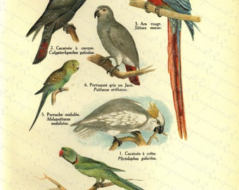 Original Antique Natural History Print of Birds - Les Osieaux - From The World Of Natural History - Parrots - Cacatoes -