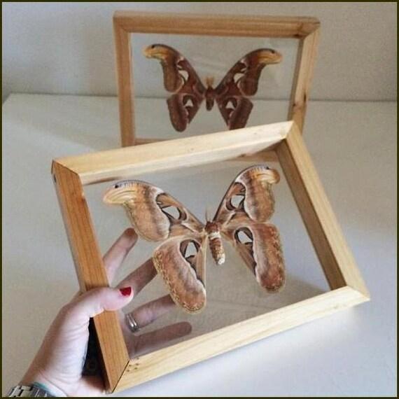 v ritable atlas moth dans cadre en bois double vitrage. Black Bedroom Furniture Sets. Home Design Ideas