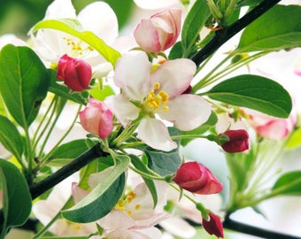 Crab Apple Flowers Photograph - Spring Flower - Pink Crab Apple Tree - Crabapple Blooming - Nature Art - Cherry Blossoms - Nature Photograph