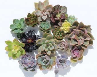 "10 rosette succulent cuttings (2-4"") 10 rosette succulent clippings wedding succulents wedding favor perfect for bouquets corsage wreath"