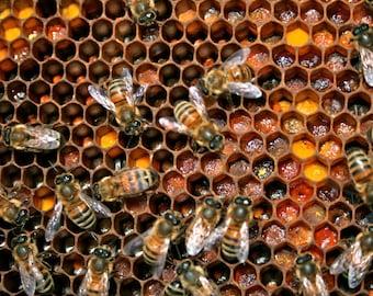 Honey Bees - Frame of Colorful Pollen (Digital Download)