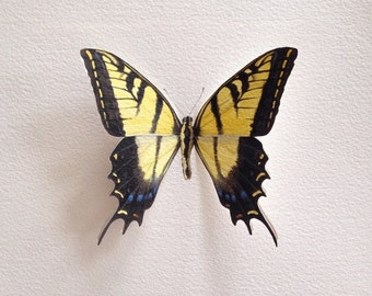 Hand-painted Two-tailed Swallowtail butterfly specimen with pop-up wings