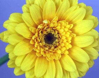 Yellow daisy, macro photography, garden photography, inspirational, spring, summer