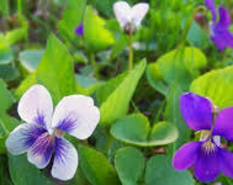 Violet Glycerite - Cough, Throat, and Canker Sore Remedy