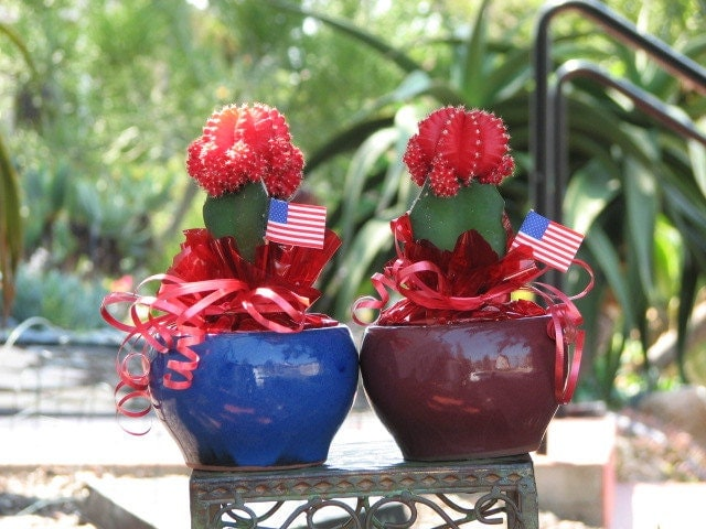 Grafted Red Moon Cactus Gift Plant 4th Of July