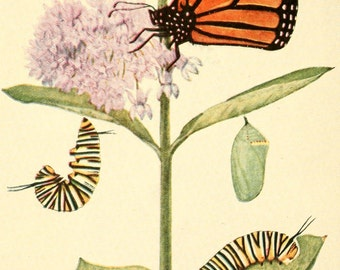 Vintage Reproducton Print Beecroft Butterflies Monarch Butterfly A4 Natural History Entomology