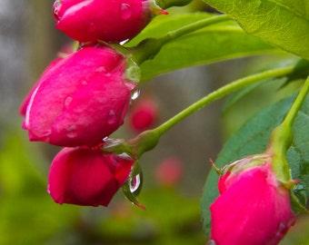 Floral Photography, Botanical, Pink buds, Rainy day Prints 4x6 // 5x7 // 8x10 // 11x14