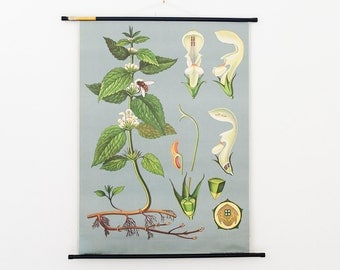 Vintage Pull Down Chart Jung Koch Quentell White Deadnettle Biology Chart Germany