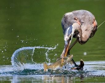 Great Blue Heron #3578