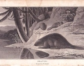 "Antique Print 1807 ""Beaver"" - by William Daniell - 19th Century Natural History Image - Home Decor Print to Frame, Georgian Ephemera, Mammal"