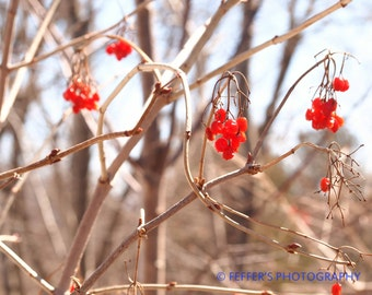 spring berries have arrived Digital  Photography fine art print  5x7 or 8x10 Home Decor