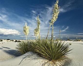 Yucca Soaptree Seeds (Yucca elata) 20+Seeds