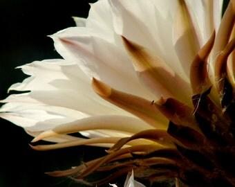 Cereus cactus flowers