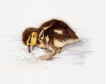 Duckling painting:  Print of an original watercolour by Jan Taylor.