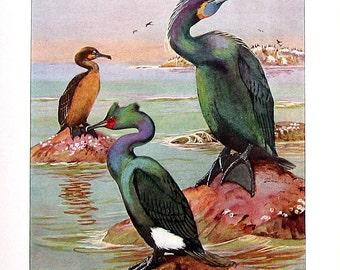 Bird Print - Cormorants - Brandt's Cormorant, Violet Green Cormorant - 1932 Book Page from Vintage Bird Book - 10 x 7