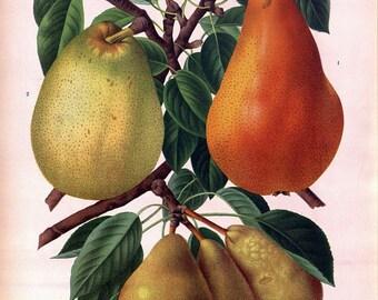 antique french botanical print pears illustration DIGITAL DOWNLOAD