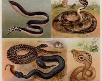 1893 Antique SNAKE print. Rattlesnake,