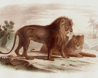 1848 Amazing Antique LION and LIONESS print. BEAUTIFUL Fine hand colored engraving. Original antique