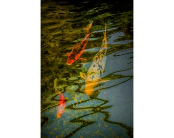 Japanese Koi Gold Fish swimming underneath the surface Reflections in a Pond No.233 A Fine Art Decorative Fish Nature Photographic Print