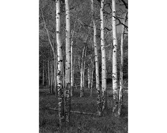 White Birch Trees standing in a Grove No.BW01483 A Vertical Black and White Nature Fine Art Aspen Birch Landscape Photograph