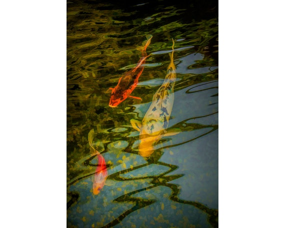 Japanese Koi Gold Fish swimming underneath the surface Reflections in    Japanese Koi Fish Swimming