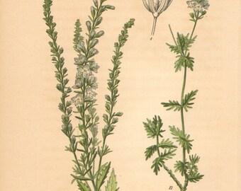 1884 Austrian Speedwell or Saw-leaved Speedwell, Veronica austriaca Antique Lithograph