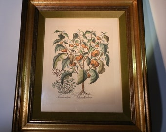 Collectoble Wall Hanging Antique Art Basilius Bessler Later Printing Solanum Pomiferum Tomato Hand Color Botanical Framed DanPickedMinerals