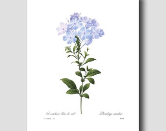 French Country Wall Decor (Botanical Illustration Print, Blue Flower Art) --- Pierre Redoute Flower Print No. 32