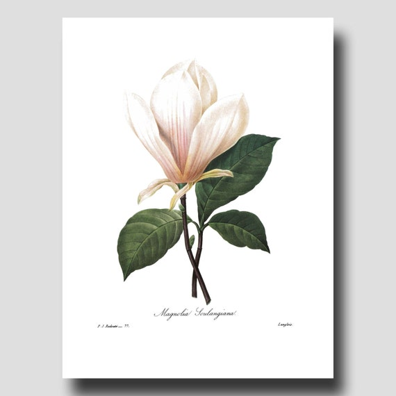 White Magnolia Flower Paintings