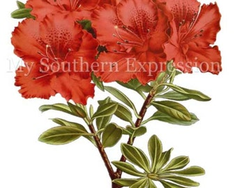 Rhododendron Vintage c 1845 Digital Download Scrapbook Collage Clipart