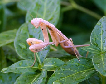 Pink Praying Mantis Photo, nature photography, insect art, bug print, macro photography, fine art print