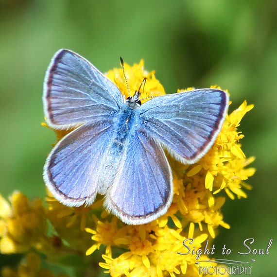 Blue Butterfly Photography, country decor, nature photo, macro insect picture, butterfly wall art, fine art print