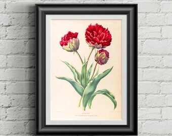 Tulip botanical poster. Botanical print. Tulip print. Wall art print. Vintage botanical prints. Flower illustration print botanical print