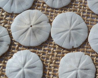 """Star Sand Dollars, Sea Biscuits ( 1.5 - 2"""") 