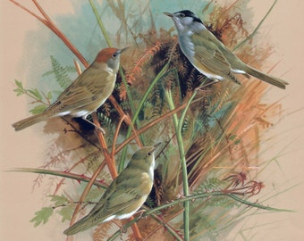 Black Cap & Garden Warbler Bird Print Home art wildlife decor Summer gift items