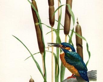 Antique Bird Print Kingfisher Axel Amuchastegui 1959  Vintage Bird Print