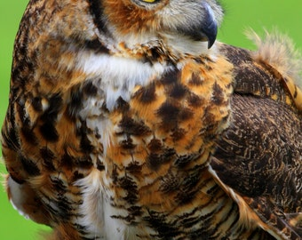Nature  Photography, Wildlife Photography, Bird Photography, Birds of Prey, Owl Photography, Photograp