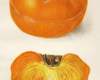 "Matted Antique Fruit Print C. 1910 ""Tamopan Persimmon"" US Dept of Agriculture Botanical 11x14"""