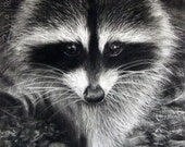 Raccoon Study - Original Raccoon Charocoal Drawing | Wildlife Art by Roberto Rizzo