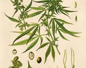 Botanical Cannabis Sativa Diagram Print. Educational Chart Diagram Poster from Kohler's Botanical. Medicinal Plant Guide marijuana - CP247