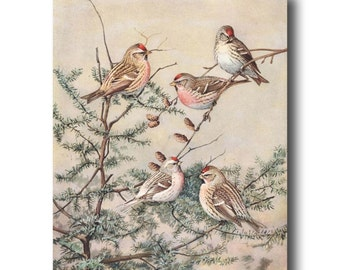 "Bird Prints, Bird Art (Antique Bird Wall Decor, 1930s Vintage Bird Illustration Gift) --- ""Watchful Redpolls"" No. 65"