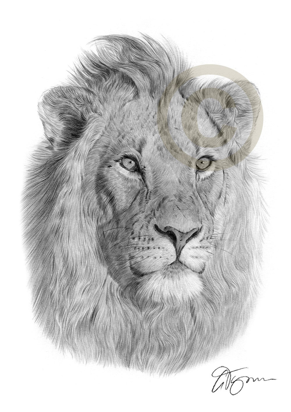 Male African Lion pencil drawing print A4 size artwork