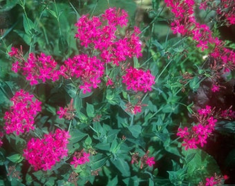 Catchfly Seeds Silene Armeria 5,000 Seeds Wildflower Seeds