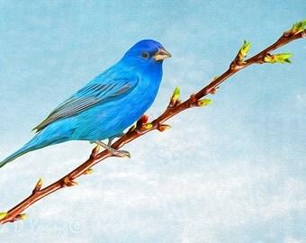 Indigo Bunting Bird, Bird Wall Art, Bird Photography, Fine Art Photography, Bunting Bird Closeup, Indigo Blue Color, Songbird Art Print