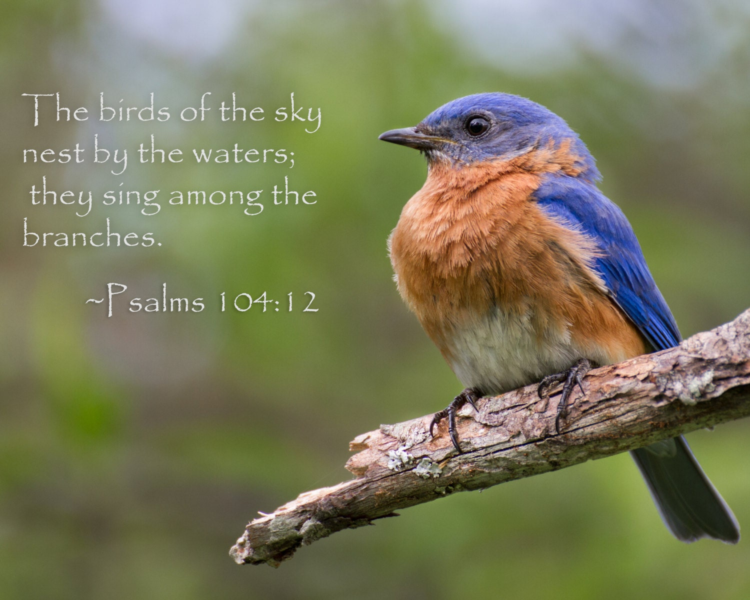 Eastern Bluebird With Bible Verse Photography Animal By