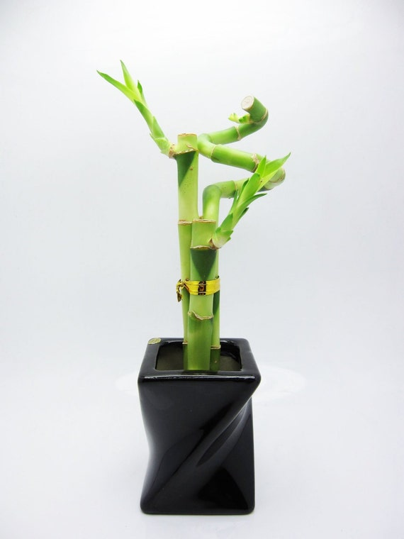 Special Green: Live 3 Style Lucky Bamboo Plant Arrangement w/ Piano Paint Black Ceramic Pot